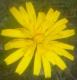 Blomst i Vindøldalen, august 2015. Fotograf: Amelie Wigum