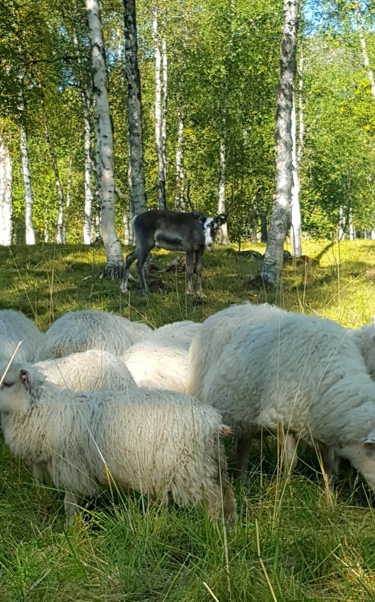 Staselig gjest i saueflokken ved sausanking i år. Fotograf: Mira Sæther.