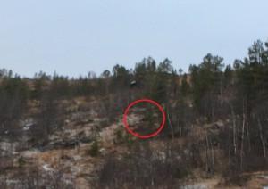 Moskus ved Holtabrua. Foto: Tor Stivold